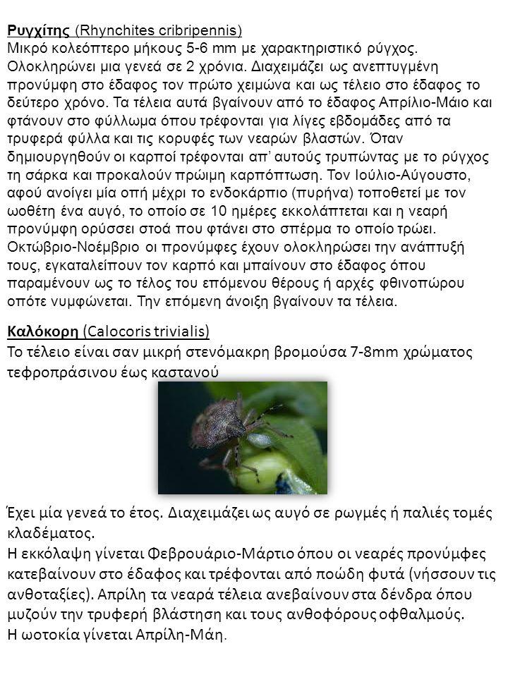 Ρυγχίτης (Rhynchites cribripennis) Μικρό κολεόπτερο μήκους 5-6 mm με χαρακτηριστικό ρύγχος. Ολοκληρώνει μια γενεά σε 2 χρόνια. Διαχειμάζει ως ανεπτυγμ