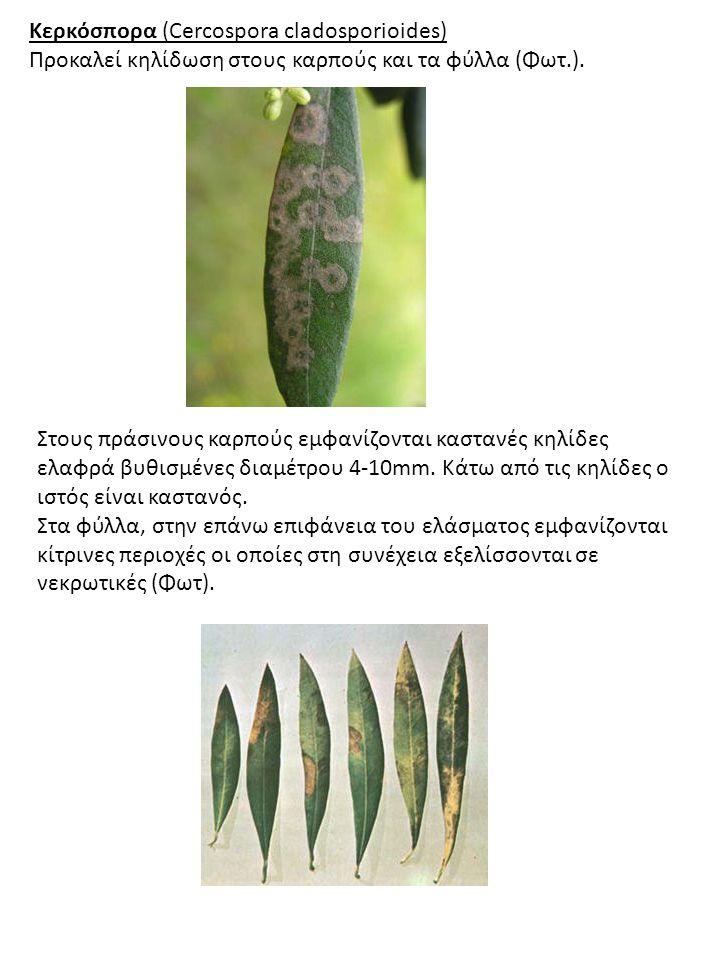 Κερκόσπορα (Cercospora cladosporioides) Προκαλεί κηλίδωση στους καρπούς και τα φύλλα (Φωτ.). Στους πράσινους καρπούς εμφανίζονται καστανές κηλίδες ελα
