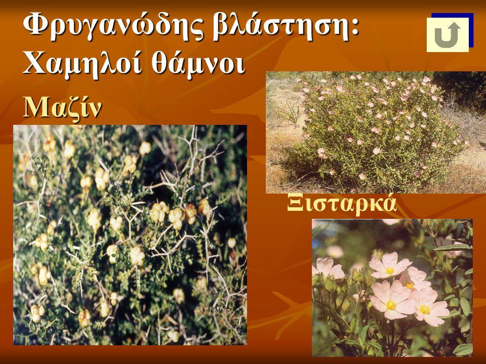 Μαζίν Ξισταρκά Φρυγανώδης βλάστηση: Χαμηλοί θάμνοι