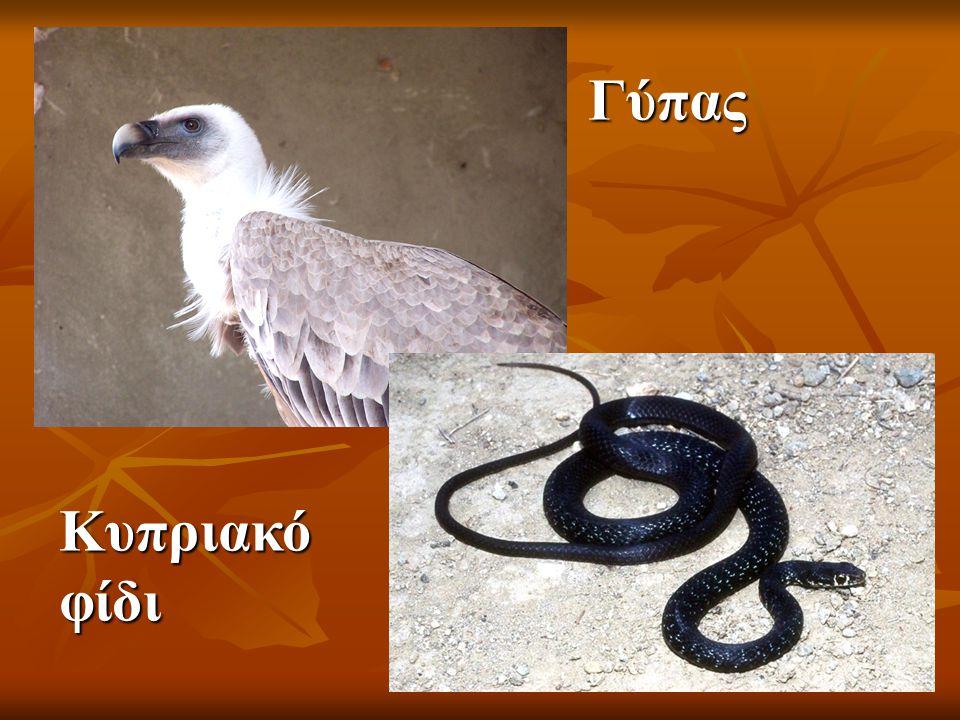 Γύπας Κυπριακό φίδι