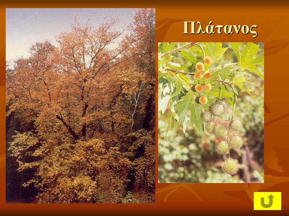 Λατζιά Μακία βλάστηση: ψηλοί θάμνοι