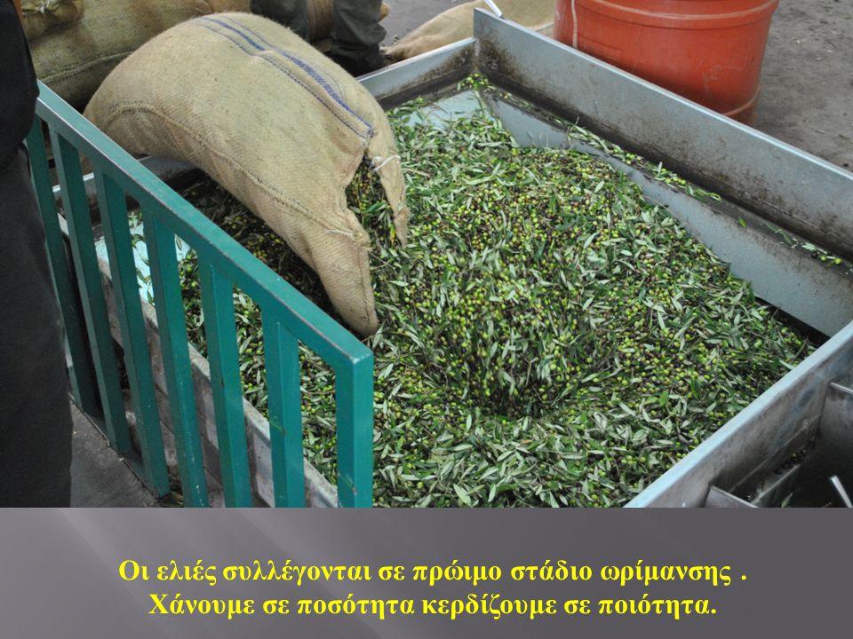 Οι ελιές συλλέγονται σε πρώιμο στάδιο ωρίμανσης. Χάνουμε σε ποσότητα κερδίζουμε σε ποιότητα.