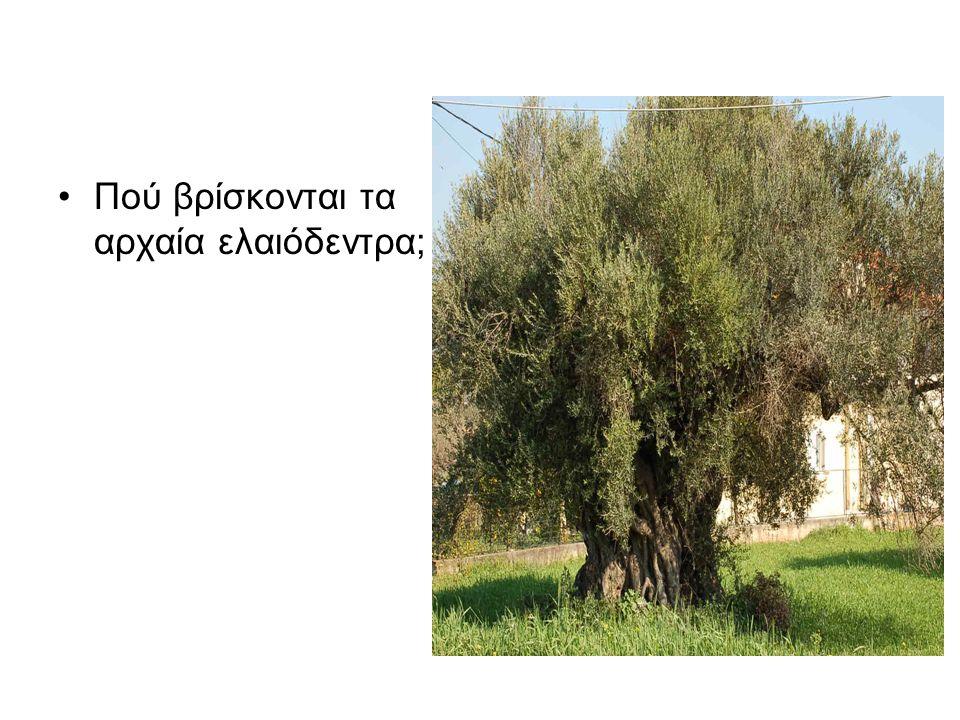 Πού βρίσκονται τα αρχαία ελαιόδεντρα;