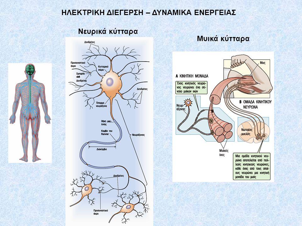 Νευρικά κύτταρα Μυικά κύτταρα ΗΛΕΚΤΡΙΚΗ ΔΙΕΓΕΡΣΗ – ΔΥΝΑΜΙΚΑ ΕΝΕΡΓΕΙΑΣ