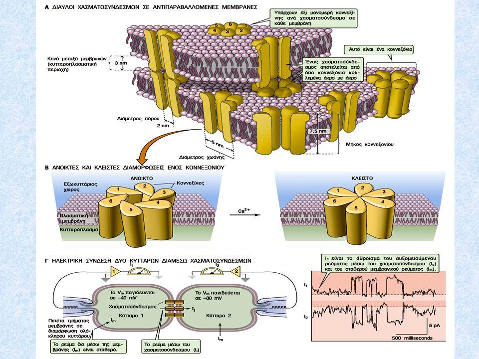Νικοτινικός υποδοχέας – δίαυλος της ακετυλοχολίνης Δενδρόγραμμα υποθετικών εξελικτικών σχέσεων μεταξύ των αλληλουχιών των διαύλων των χασματοσυνδέσμων.