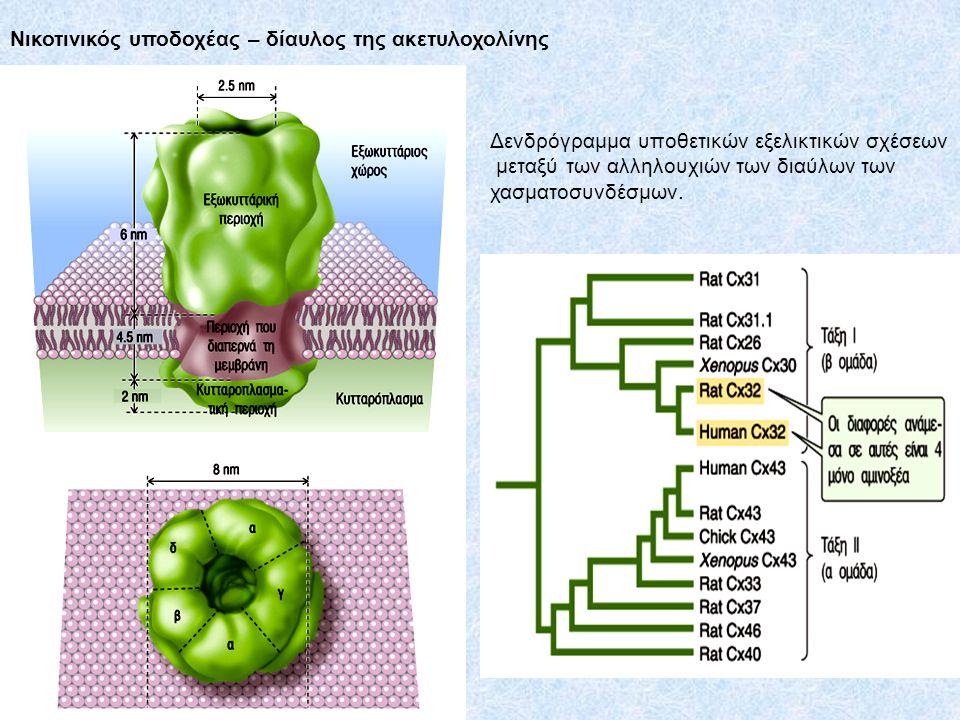 Νικοτινικός υποδοχέας – δίαυλος της ακετυλοχολίνης Δενδρόγραμμα υποθετικών εξελικτικών σχέσεων μεταξύ των αλληλουχιών των διαύλων των χασματοσυνδέσμων