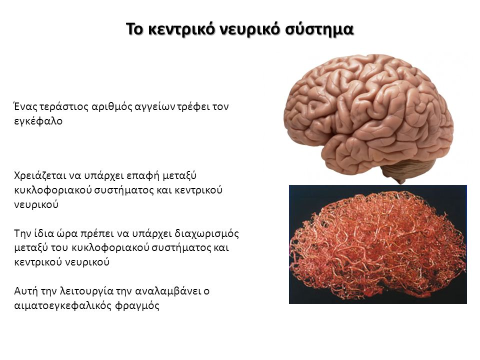 Το κεντρικό νευρικό σύστημα Ένας τεράστιος αριθμός αγγείων τρέφει τον εγκέφαλο Χρειάζεται να υπάρχει επαφή μεταξύ κυκλοφοριακού συστήματος και κεντρικ
