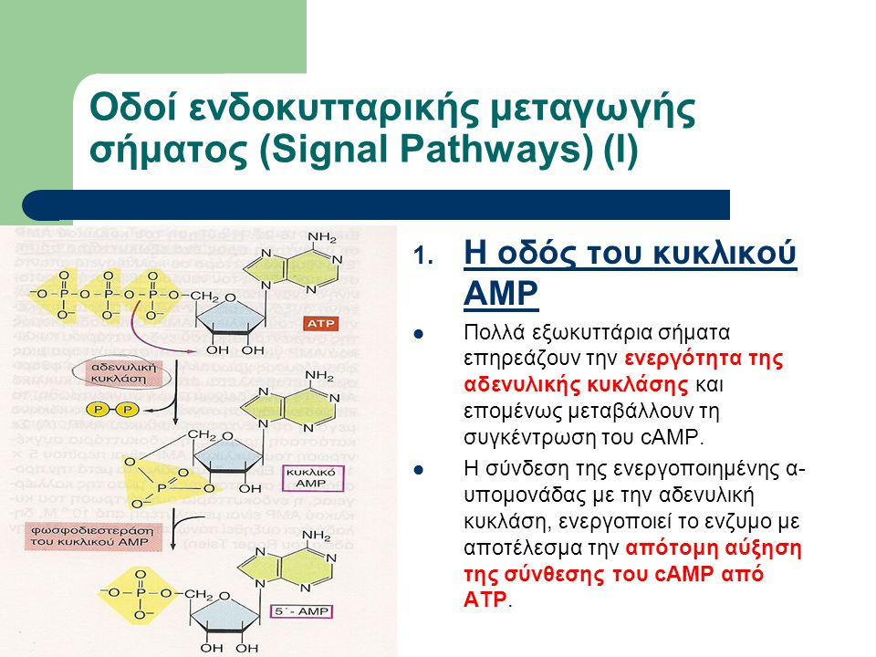 29 Οδοί ενδοκυτταρικής μεταγωγής σήματος (Signal Pathways) (Ι) 1. Η οδός του κυκλικού AMP Πολλά εξωκυττάρια σήματα επηρεάζουν την ενεργότητα της αδενυ