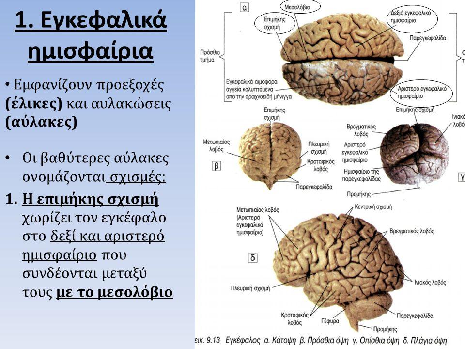 1. Εγκεφαλικά ημισφαίρια Οι βαθύτερες αύλακες ονομάζονται σχισμές: 1.Η επιμήκης σχισμή χωρίζει τον εγκέφαλο στο δεξί και αριστερό ημισφαίριο που συνδέ