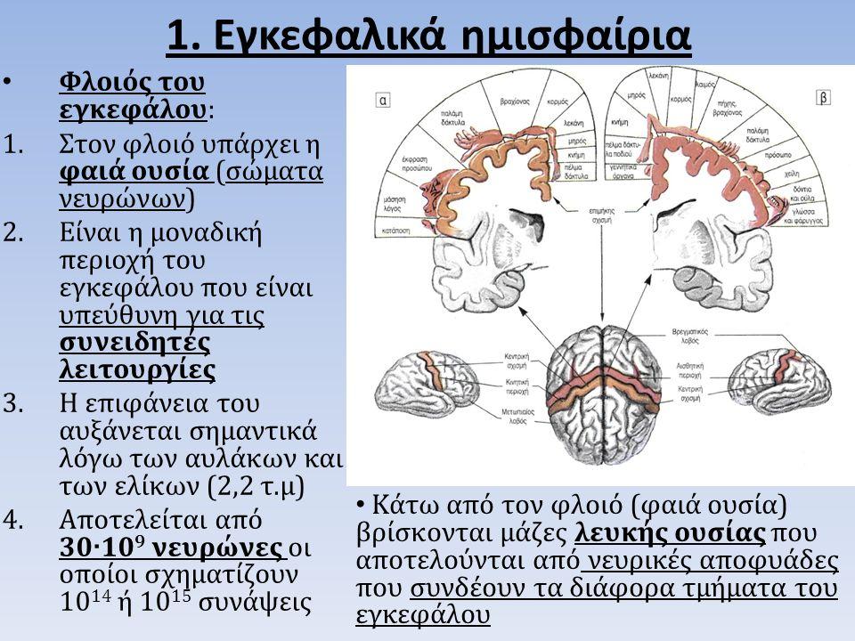 Φλοιός του εγκεφάλου: 1.Στον φλοιό υπάρχει η φαιά ουσία (σώματα νευρώνων) 2.Είναι η μοναδική περιοχή του εγκεφάλου που είναι υπεύθυνη για τις συνειδητές λειτουργίες 3.Η επιφάνεια του αυξάνεται σημαντικά λόγω των αυλάκων και των ελίκων (2,2 τ.μ) 4.Αποτελείται από 30 ∙ 10 9 νευρώνες οι οποίοι σχηματίζουν 10 14 ή 10 15 συνάψεις 1.