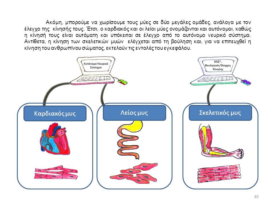 Αυτόνομο Νευρικό Σύστημα ΚΝΣ*, Βουλητικός Έλεγχος Κίνησης Καρδιακός μυς Λείος μυςΣκελετικός μυς 40 Ακόμη, μπορούμε να χωρίσουμε τους μύες σε δύο μεγάλ