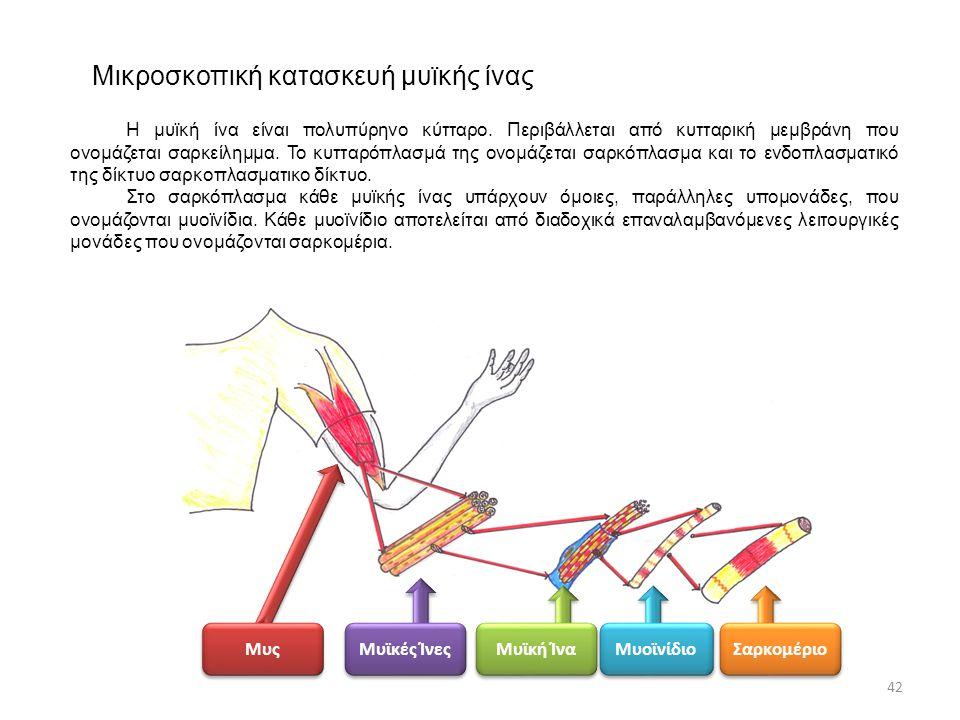 Μικροσκοπική κατασκευή μυϊκής ίνας Μυς Μυϊκές Ίνες Μυϊκή Ίνα Μυοϊνίδιο Σαρκομέριο 42 Η μυϊκή ίνα είναι πολυπύρηνο κύτταρο. Περιβάλλεται από κυτταρική