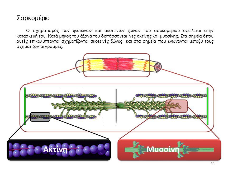 Σαρκομέριο ΑκτίνηΜυοσίνη 44 Ο σχηματισμός των φωτεινών και σκοτεινών ζωνών του σαρκομερίου οφείλεται στην κατασκευή του. Κατά μήκος του άξονά του διατ