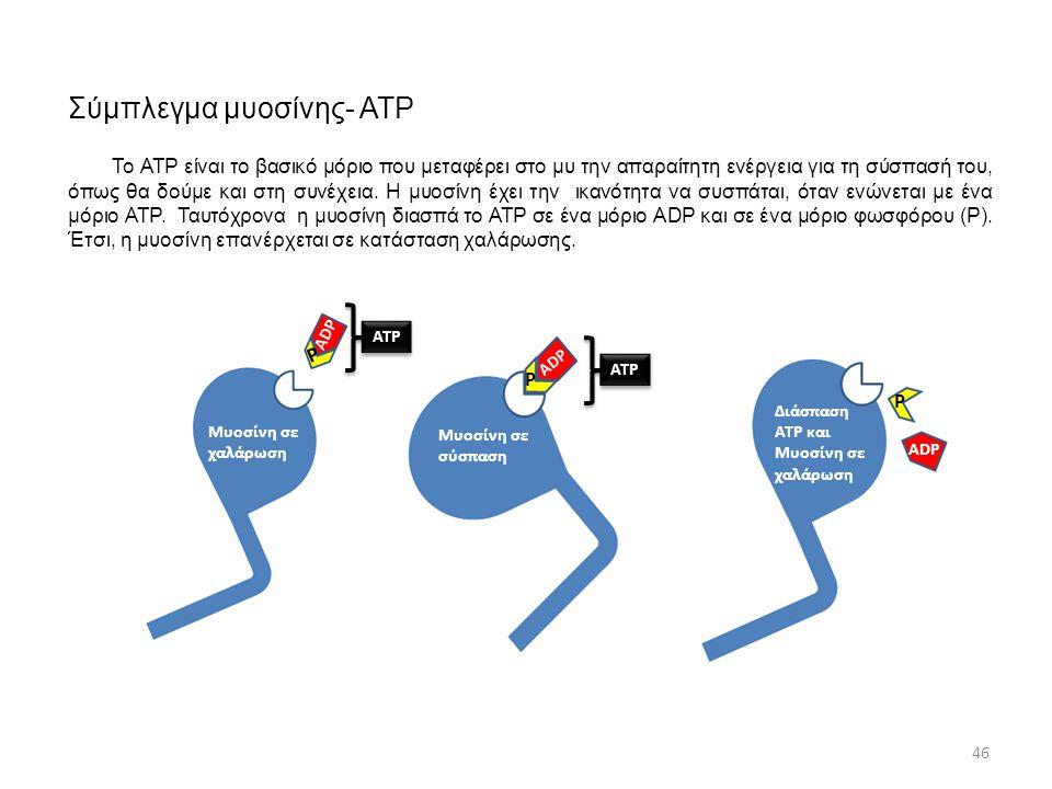 Σύμπλεγμα μυοσίνης- ΑΤΡ Μυοσίνη σε χαλάρωση Μυοσίνη σε σύσπαση Διάσπαση ΑΤΡ και Μυοσίνη σε χαλάρωση ΑΤΡ ADP Ρ Ρ Ρ 46 Το ΑΤΡ είναι το βασικό μόριο που