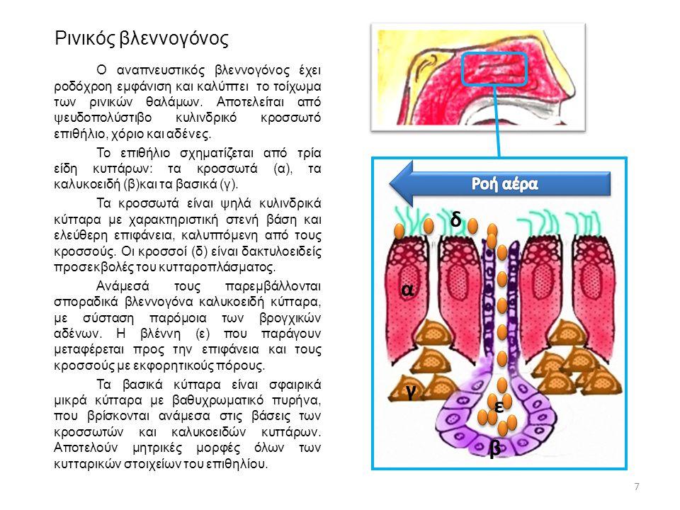 Ρινικός βλεννογόνος Ο αναπνευστικός βλεννογόνος έχει ροδόχροη εμφάνιση και καλύπτει το τοίχωμα των ρινικών θαλάμων. Αποτελείται από ψευδοπολύστιβο κυλ