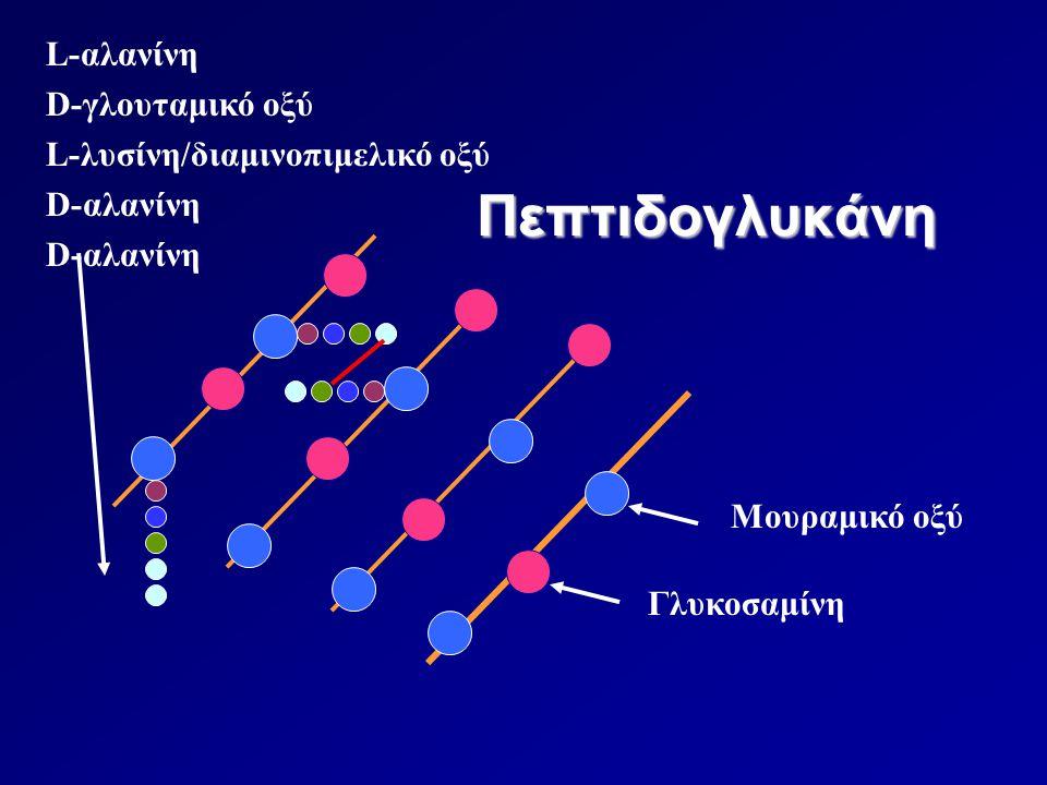 Πεπτιδογλυκάνη Μουραμικό οξύ Γλυκοσαμίνη L-αλανίνη D-γλουταμικό οξύ L-λυσίνη/διαμινοπιμελικό οξύ D-αλανίνη