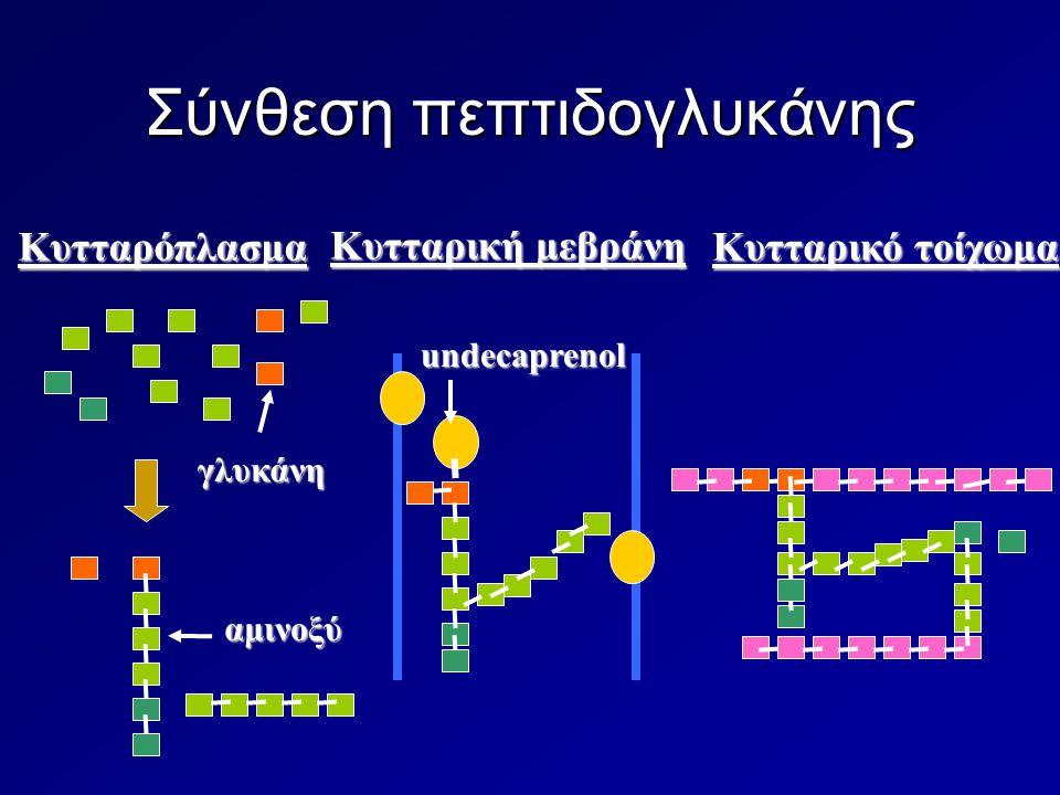 Σύνθεση πεπτιδογλυκάνης Κυτταρόπλασμα Κυτταρικό τοίχωμα undecaprenol γλυκάνη αμινοξύ Κυτταρική μεβράνη