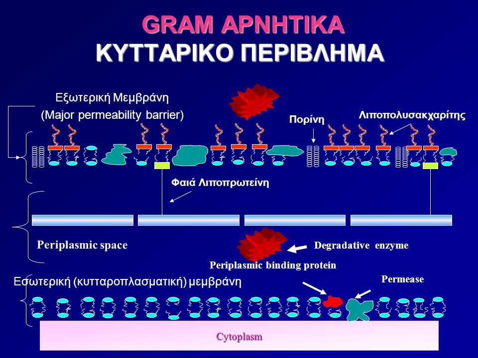 GRAM ΑΡΝΗΤΙΚΑ ΚΥΤΤΑΡΙΚΟ ΠΕΡΙΒΛΗΜΑ GRAM ΑΡΝΗΤΙΚΑ ΚΥΤΤΑΡΙΚΟ ΠΕΡΙΒΛΗΜΑ Cytoplasm Εσωτερική (κυτταροπλασματική) μεμβράνη Εξωτερική Μεμβράνη (Major permeab
