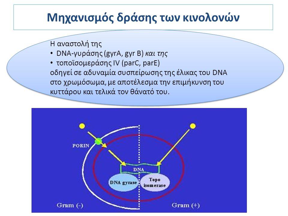 Μηχανισμός δράσης των κινολονών Η αναστολή της DNA-γυράσης (gyrA, gyr B) και της τοποϊσομεράσης IV (parC, parE) οδηγεί σε αδυναμία συσπείρωσης της έλι