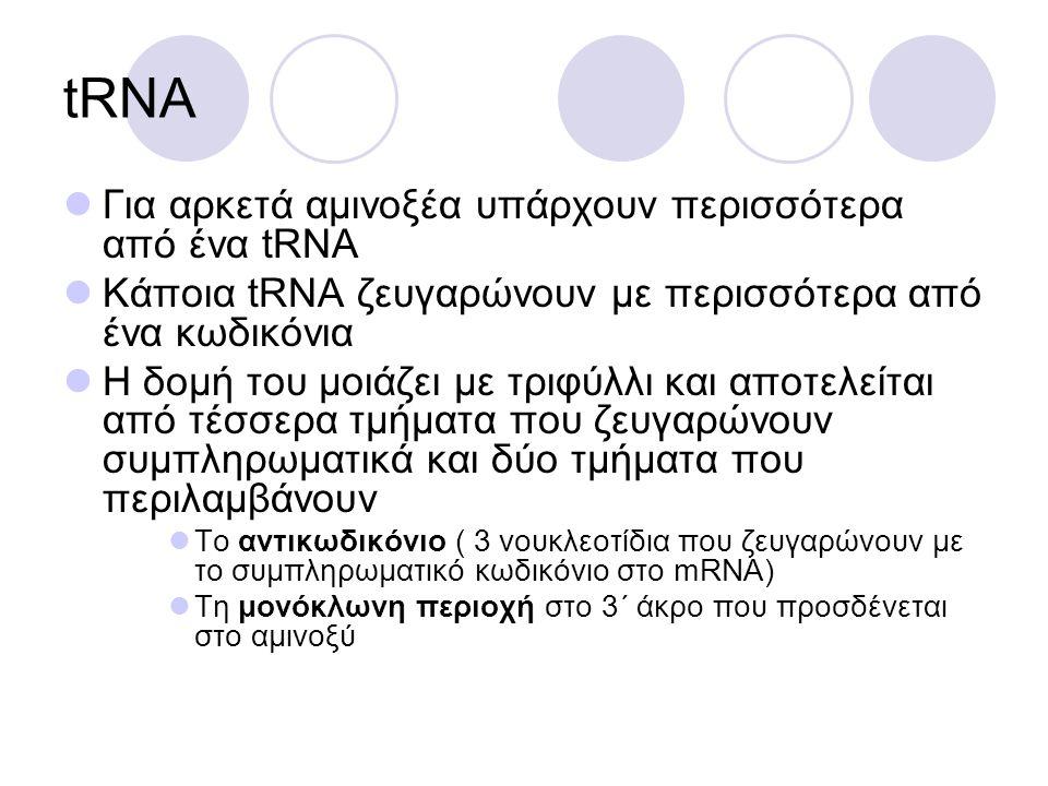 tRNA Για αρκετά αμινοξέα υπάρχουν περισσότερα από ένα tRNA Κάποια tRNA ζευγαρώνουν με περισσότερα από ένα κωδικόνια Η δομή του μοιάζει με τριφύλλι και