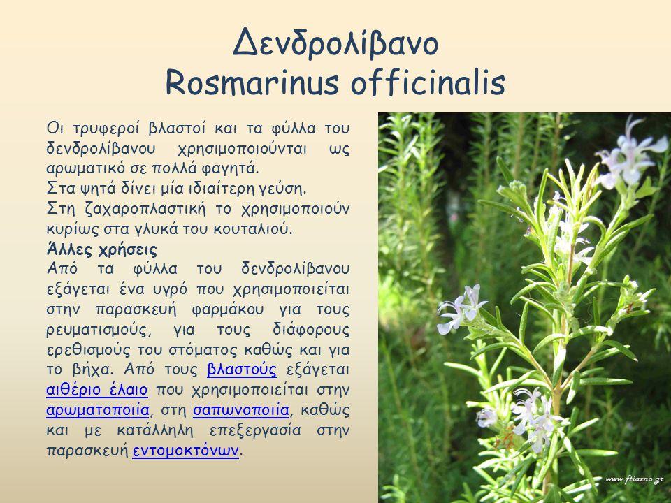 Δενδρολίβανο Rosmarinus officinalis Οι τρυφεροί βλαστοί και τα φύλλα του δενδρολίβανου χρησιμοποιούνται ως αρωματικό σε πολλά φαγητά. Στα ψητά δίνει μ