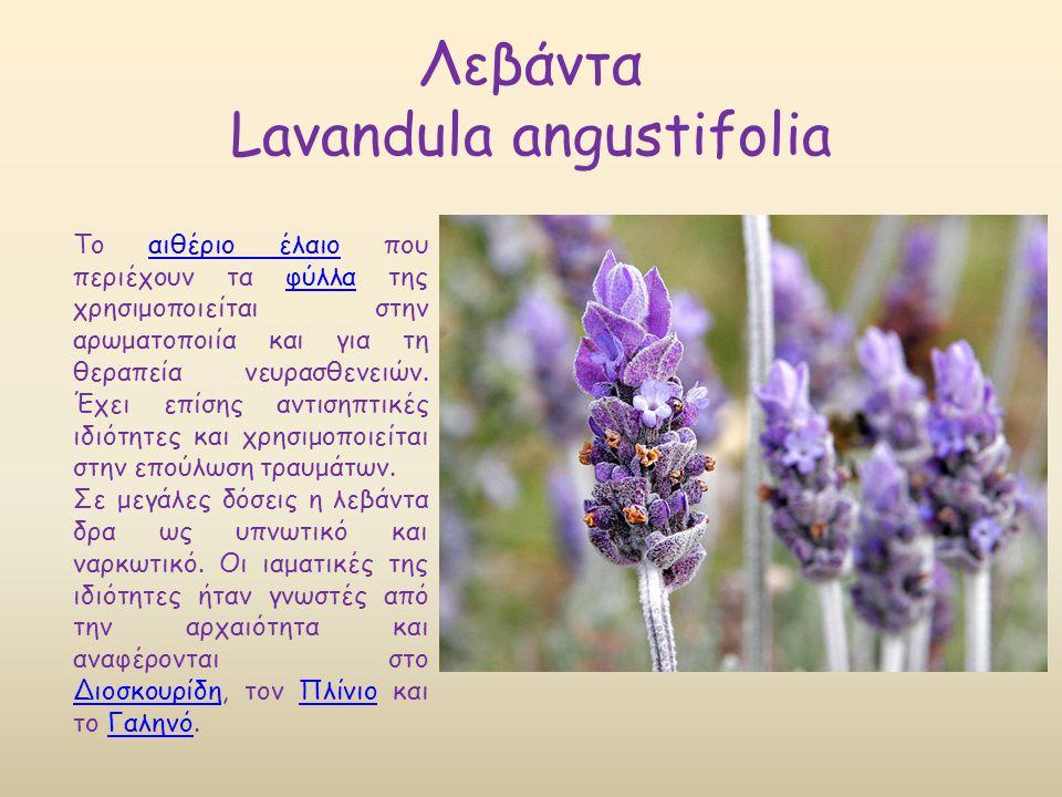 Λεβάντα Lavandula angustifolia Το αιθέριο έλαιο που περιέχουν τα φύλλα της χρησιμοποιείται στην αρωματοποιία και για τη θεραπεία νευρασθενειών. Έχει ε