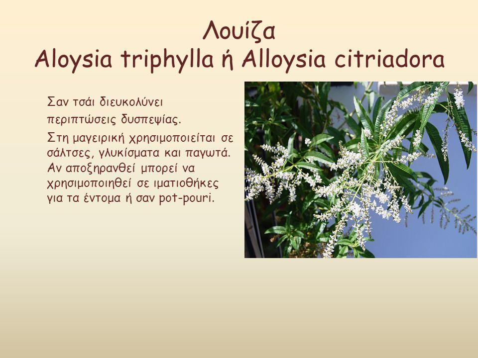 Λουίζα Aloysia triphylla ή Alloysia citriadora Σαν τσάι διευκολύνει περιπτώσεις δυσπεψίας. Στη μαγειρική χρησιμοποιείται σε σάλτσες, γλυκίσματα και πα