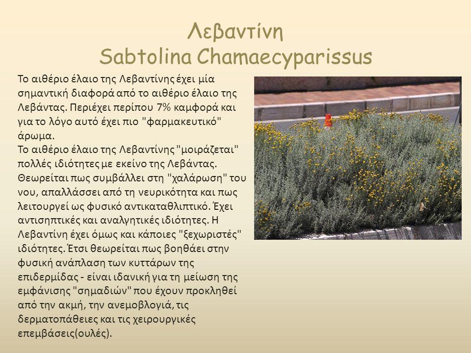 Λεβαντίνη Sabtolina Chamaecyparissus Το αιθέριο έλαιο της Λεβαντίνης έχει μία σημαντική διαφορά από το αιθέριο έλαιο της Λεβάντας. Περιέχει περίπου 7%