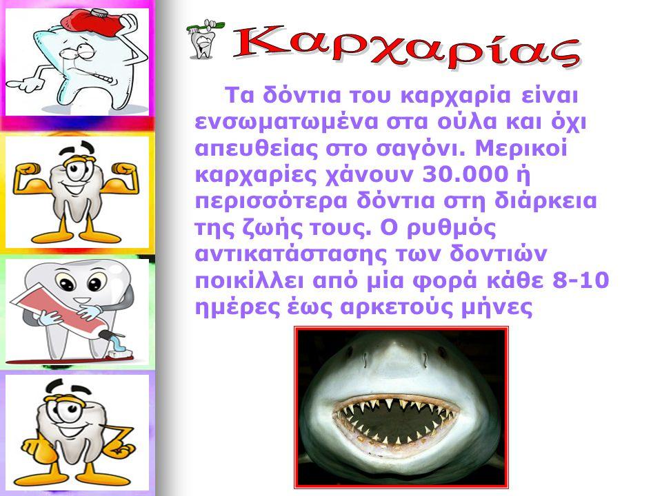 Τα δόντια του καρχαρία είναι ενσωματωμένα στα ούλα και όχι απευθείας στο σαγόνι. Μερικοί καρχαρίες χάνουν 30.000 ή περισσότερα δόντια στη διάρκεια της