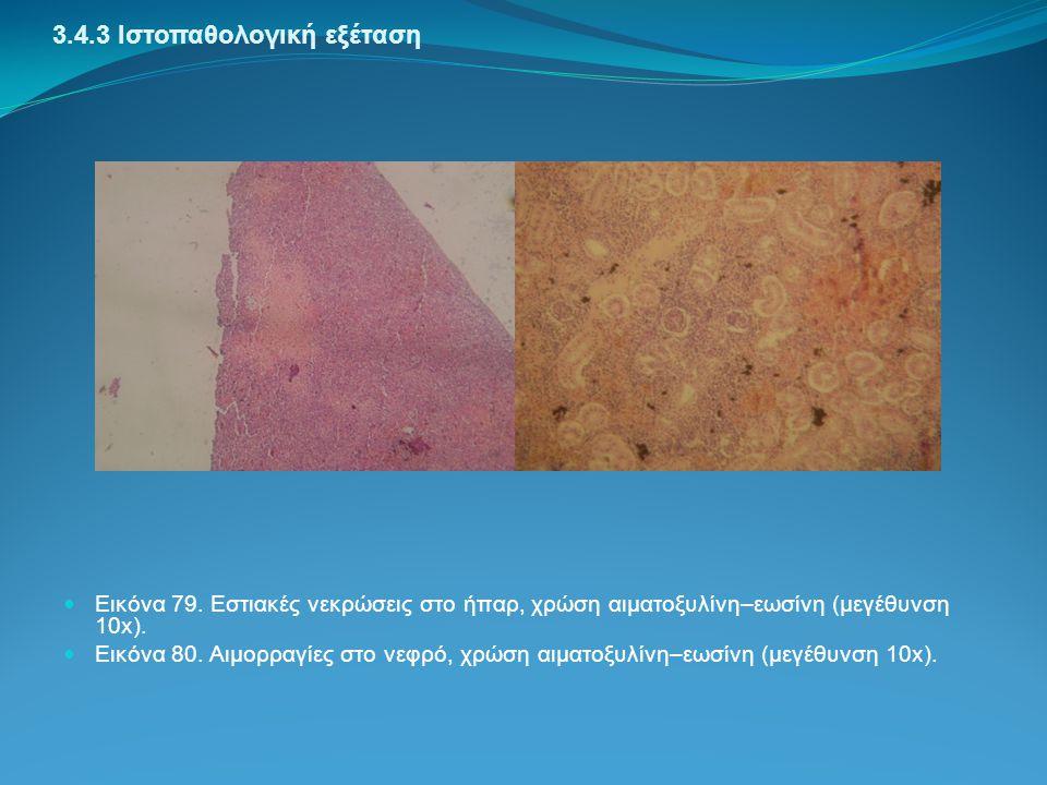 3.4.3 Ιστοπαθολογική εξέταση Εικόνα 79. Εστιακές νεκρώσεις στο ήπαρ, χρώση αιματοξυλίνη–εωσίνη (μεγέθυνση 10x). Εικόνα 80. Αιμορραγίες στο νεφρό, χρώσ