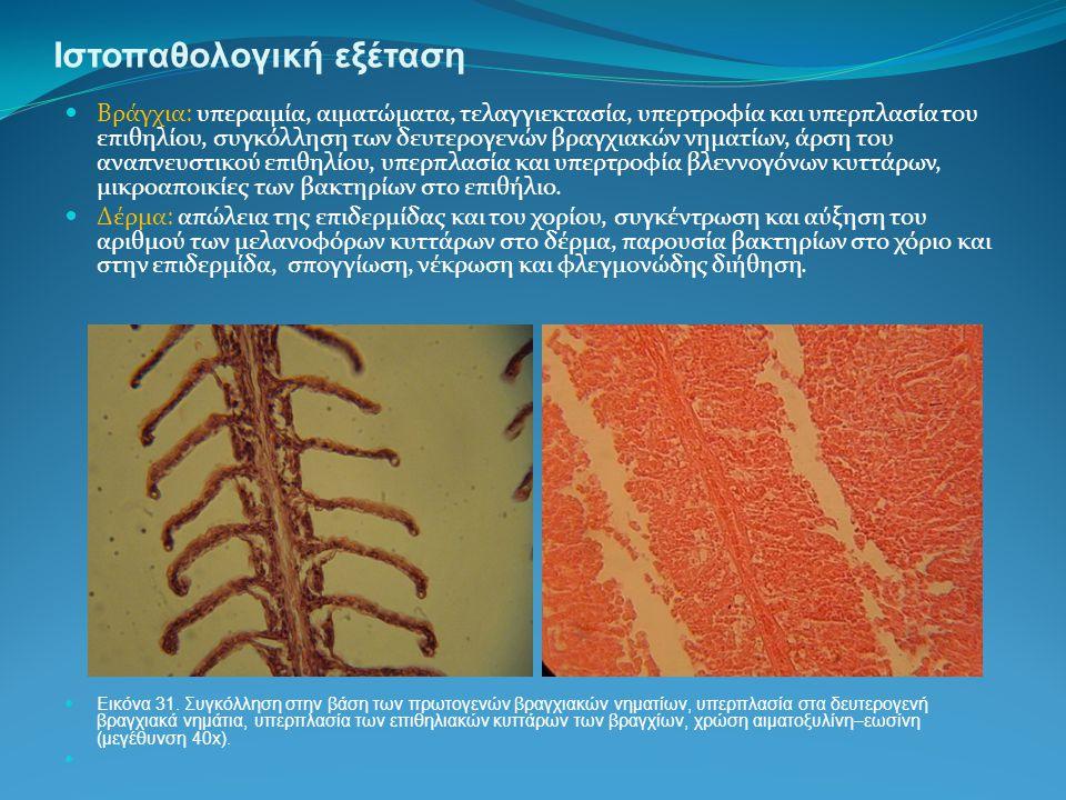 Ιστοπαθολογική εξέταση Βράγχια: υπεραιμία, αιματώματα, τελαγγιεκτασία, υπερτροφία και υπερπλασία του επιθηλίου, συγκόλληση των δευτερογενών βραγχιακών νηματίων, άρση του αναπνευστικού επιθηλίου, υπερπλασία και υπερτροφία βλεννογόνων κυττάρων, μικροαποικίες των βακτηρίων στο επιθήλιο.
