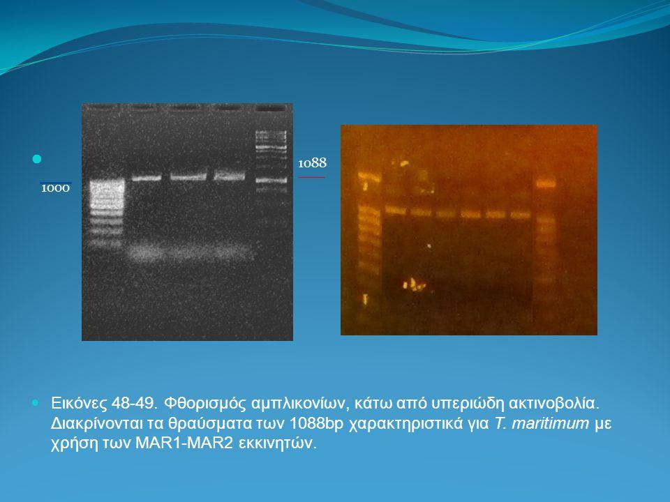 1088 1000 Εικόνες 48-49. Φθορισμός αμπλικονίων, κάτω από υπεριώδη ακτινοβολία. Διακρίνονται τα θραύσματα των 1088bp χαρακτηριστικά για T. maritimum με
