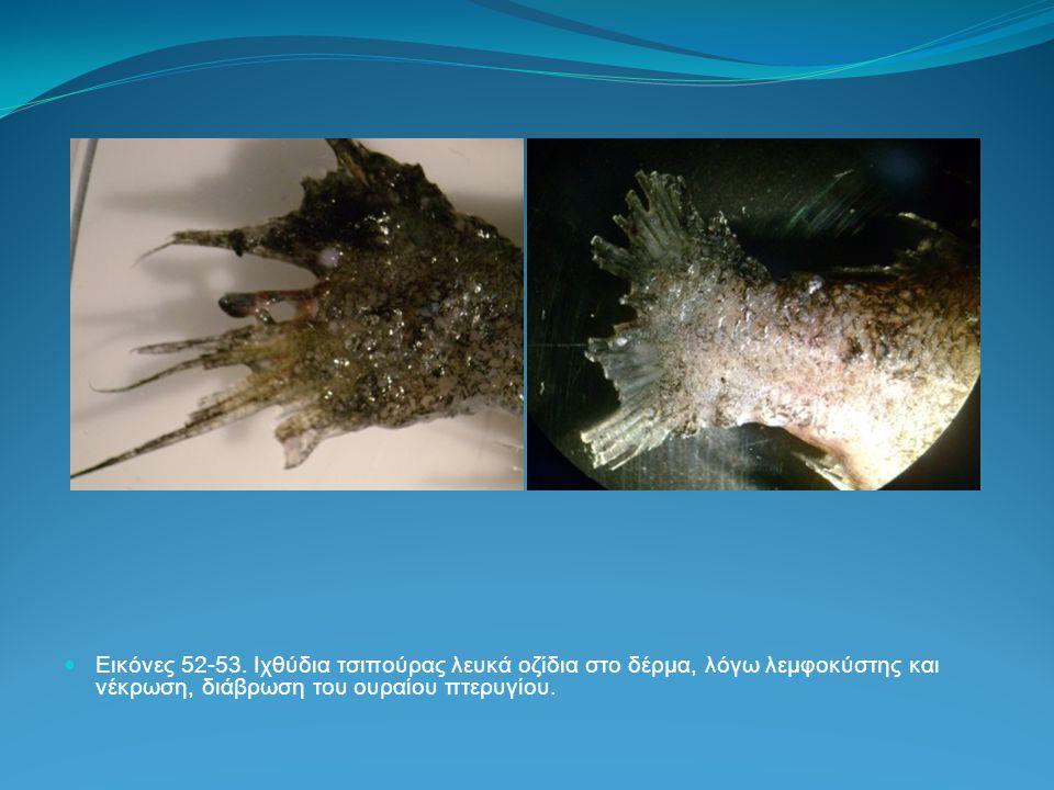 Εικόνες 52-53. Ιχθύδια τσιπούρας λευκά οζίδια στο δέρμα, λόγω λεμφοκύστης και νέκρωση, διάβρωση του ουραίου πτερυγίου.