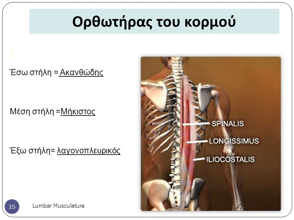 Ορθωτήρας του κορμού Lumbar Musculature 15 : Έσω στήλη = Ακανθώδης Μέση στήλη =Μήκιστος Έξω στήλη= λαγονοπλευρικός