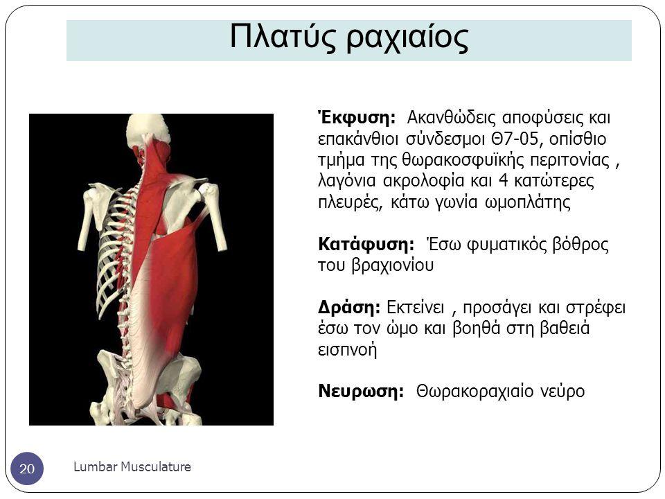 Πλατύς ραχιαίος Lumbar Musculature 20 Έκφυση: Ακανθώδεις αποφύσεις και επακάνθιοι σύνδεσμοι Θ7-05, οπίσθιο τμήμα της θωρακοσφυϊκής περιτονίας, λαγόνια