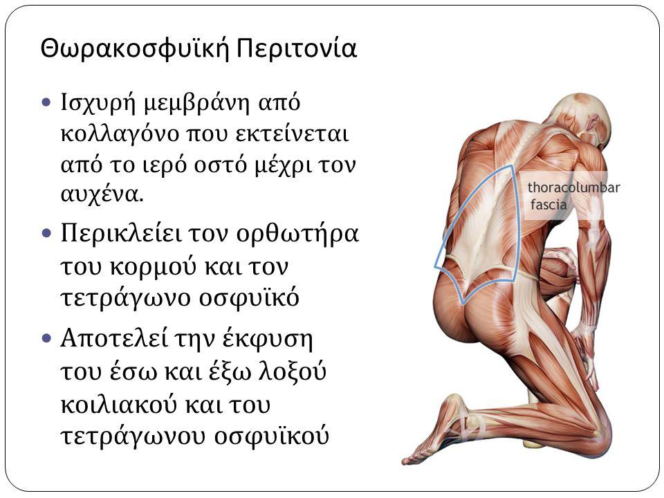 IST/UΗ ΝΜΣ 1 2010-2011 Θωρακοσφυϊκή Περιτονία Εγκάρσιος κοιλιακός Εγκάρσια περιτονία μείζων ψοϊτης Έσω λοξός Έξω λοξός Πλατύς Ραχιαίος Οπίσθιος οδοντωτός- κάτω μοίρα Θωρακοοσφυϊκή περιτονία Πρόσθια Μέση Οπίσθια Οπίσθιοι Σπονδυλικοί μύες