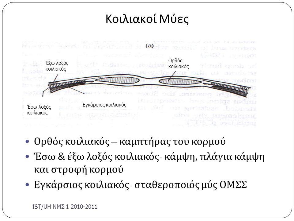 Κοιλιακοί Μύες IST/UΗ ΝΜΣ 1 2010-2011 Ορθός κοιλιακός – καμπτήρας του κορμού Έσω & έξω λοξός κοιλιακός - κάμψη, πλάγια κάμψη και στροφή κορμού Εγκάρσι
