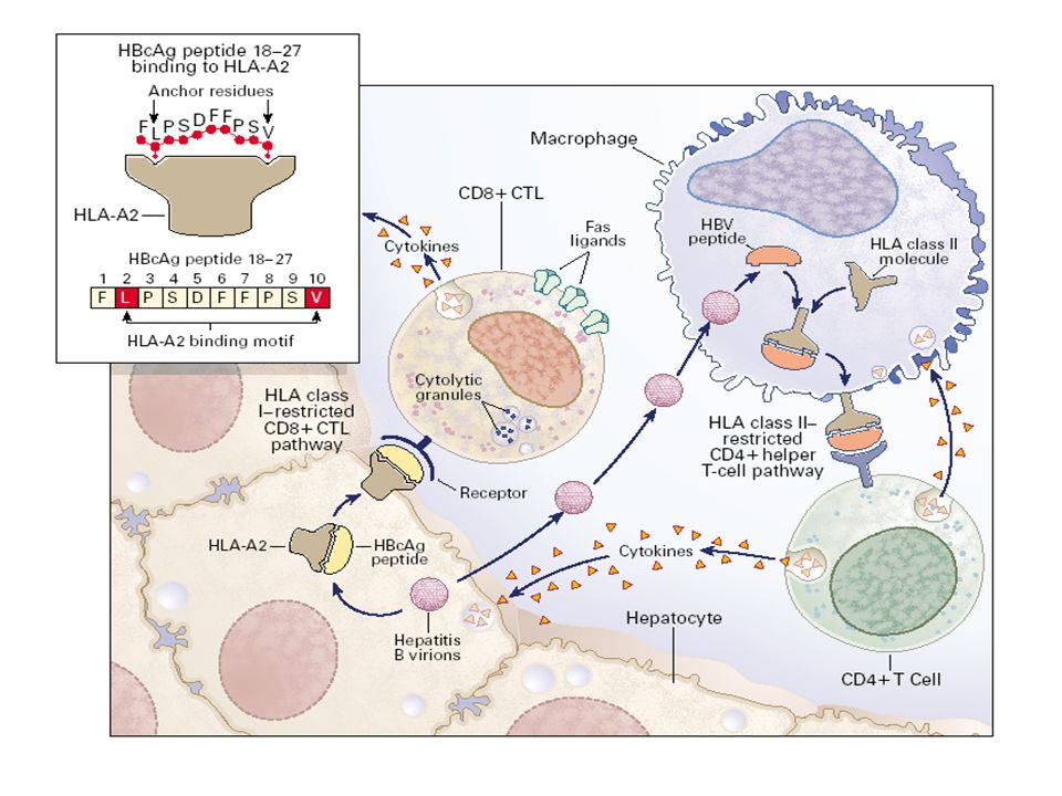 Cytokine secretion and biological activities of T H 1 and T H 2 Subsets Type 1 Type 2 IL-2 IFN-  TNFIL-4IL-5IL-6 Cell-mediated Immune response Humoralresponse T cell Th1 Th2