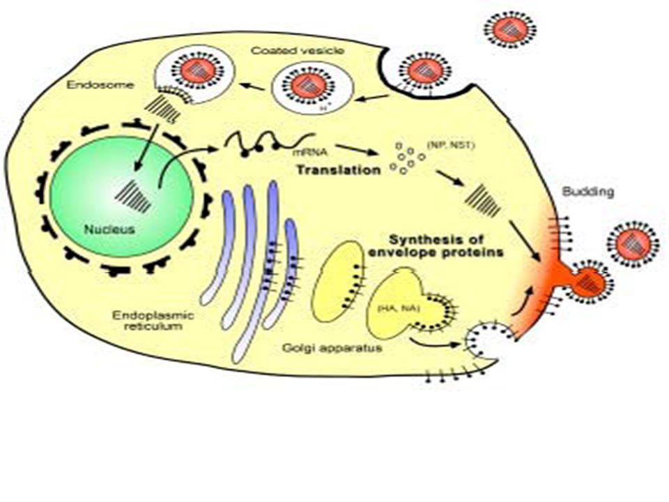 Ανίχνευση του ιού της νέας γρίπης Α / Η 1 Ν 1  Ο ιός απεκκρίνεται από το ανώτερο αναπνευστικό και μπορεί να απομονωθεί 3-4 ημέρες από την έναρξη των συμπτωμάτων.