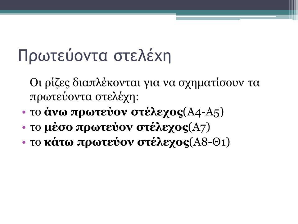 Πρωτεύοντα στελέχη Οι ρίζες διαπλέκονται για να σχηματίσουν τα πρωτεύοντα στελέχη: το άνω πρωτεύον στέλεχος(Α4-Α5) το μέσο πρωτεύον στέλεχος(Α7) το κάτω πρωτεύον στέλεχος(Α8-Θ1)