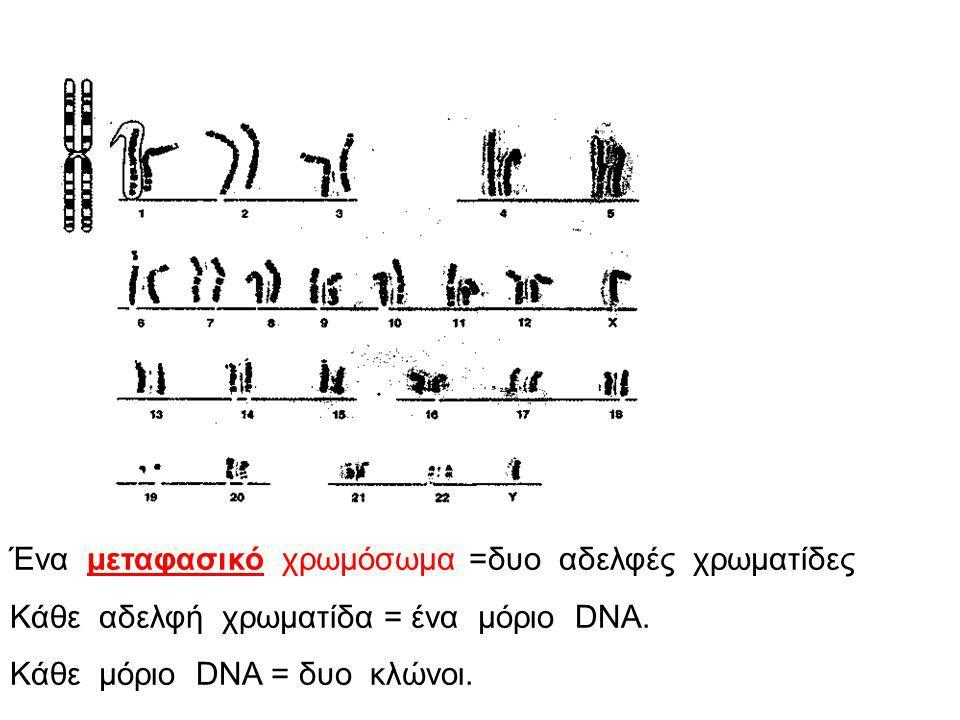 Ένα μεταφασικό χρωμόσωμα =δυο αδελφές χρωματίδες Κάθε αδελφή χρωματίδα = ένα μόριο DNA.