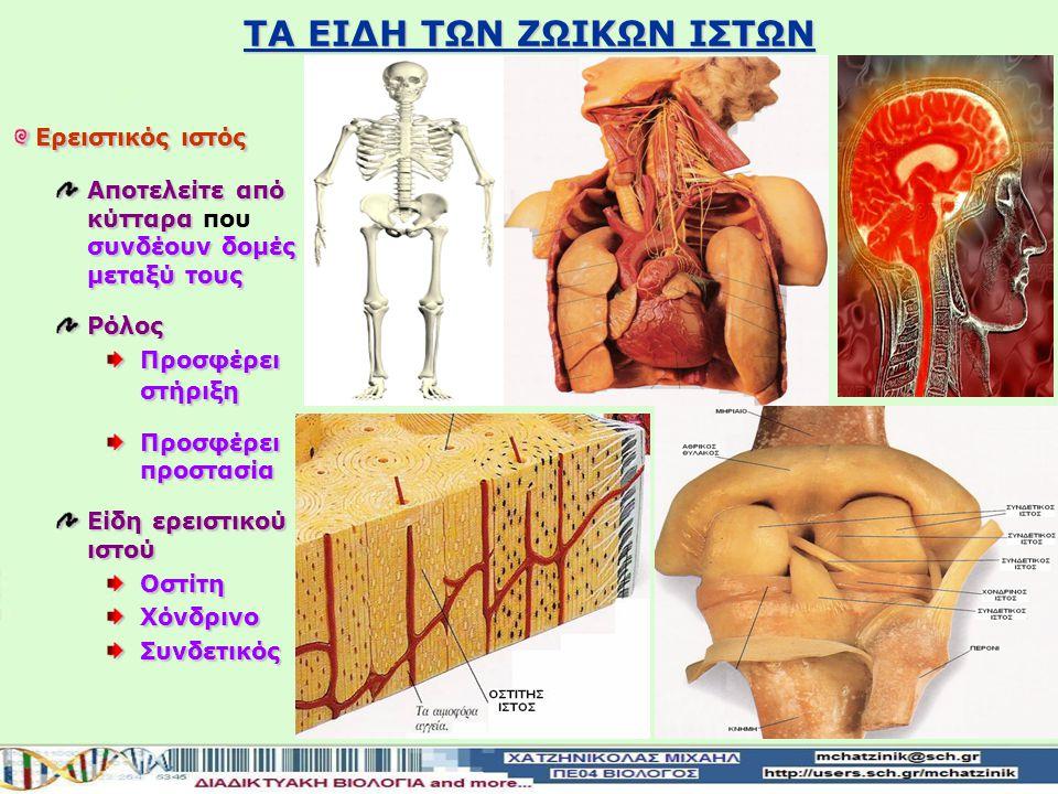 ΤΑ ΕΙΔΗ ΤΩΝ ΖΩΙΚΩΝ ΙΣΤΩΝ Επιθηλιακός ιστός Προστατευτικός ρόλος Καλύπτουν εξωτερικά το σώμα Καλύπτουν εξωτερικά το σώμα μαςΕπιδερμίδα Περιβάλουν εσωτερικά τα όργανα Επενδύουν το εσωτερικό κοιλοτήτων του σώματος Βλεννογόνοι του στομάχου Βλεννογόνοι της αναπνευστικής οδού Λειτουργικός ρόλος Εκκρίνουν ή απορροφούν διάφορες ουσίες Βλεννογόνοι