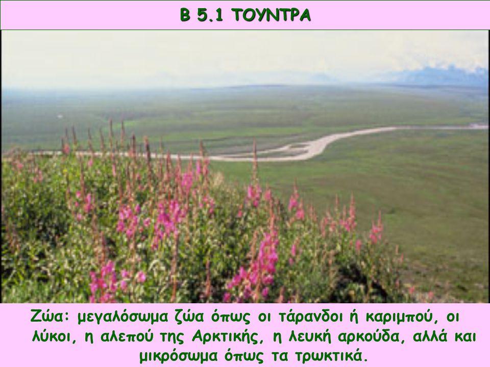 Φυτά: βρύα και λειχήνες. Β 5.1 ΤΟΥΝΤΡΑ Ζώα: μεγαλόσωμα ζώα όπως οι τάρανδοι ή καριμπού, οι λύκοι, η αλεπού της Αρκτικής, η λευκή αρκούδα, αλλά και μικ