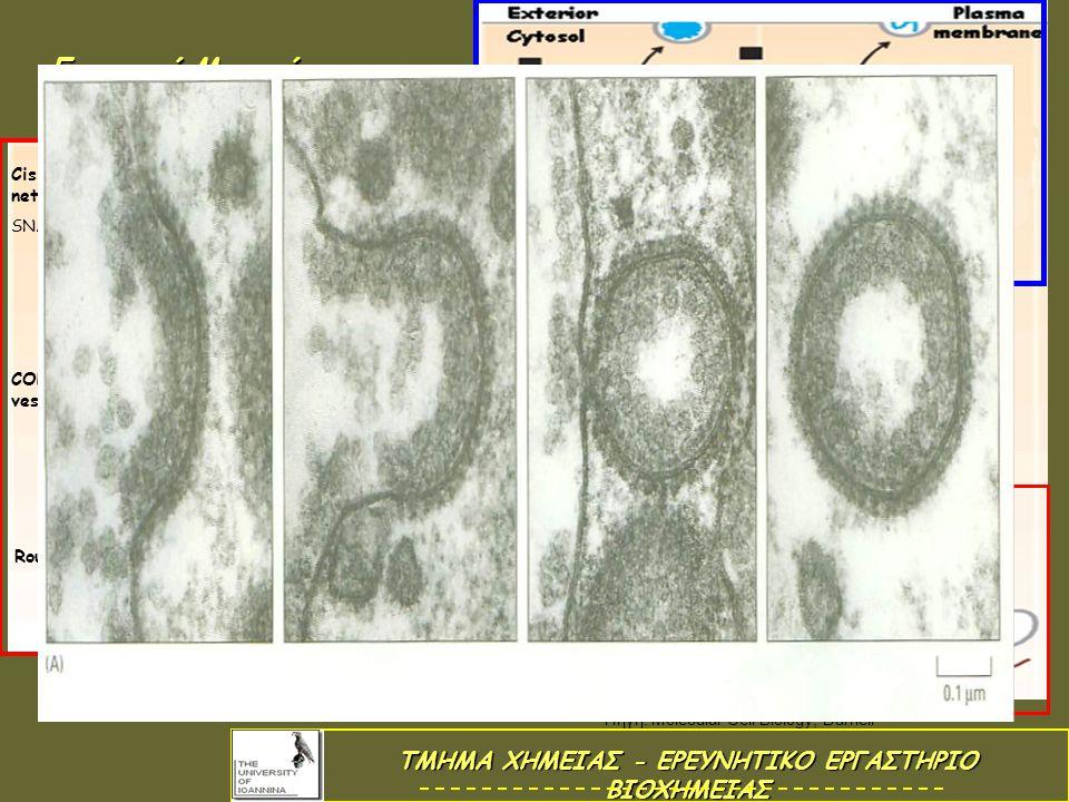 Εκκριτικά Μονοπάτια Rough ER Membrane receptor Membrane cargo Soluble cargo SNARE protein SNARE pair COPII vesicle COPI vesicl e SNARE pair Cis-Golgi network Coat protein 1 Πηγή: Molecular Cell Biology, Darnell ΤΜΗΜΑ ΧΗΜΕΙΑΣ - ΕΡΕΥΝΗΤΙΚΟ ΕΡΓΑΣΤΗΡΙΟ ΒΙΟΧΗΜΕΙΑΣ