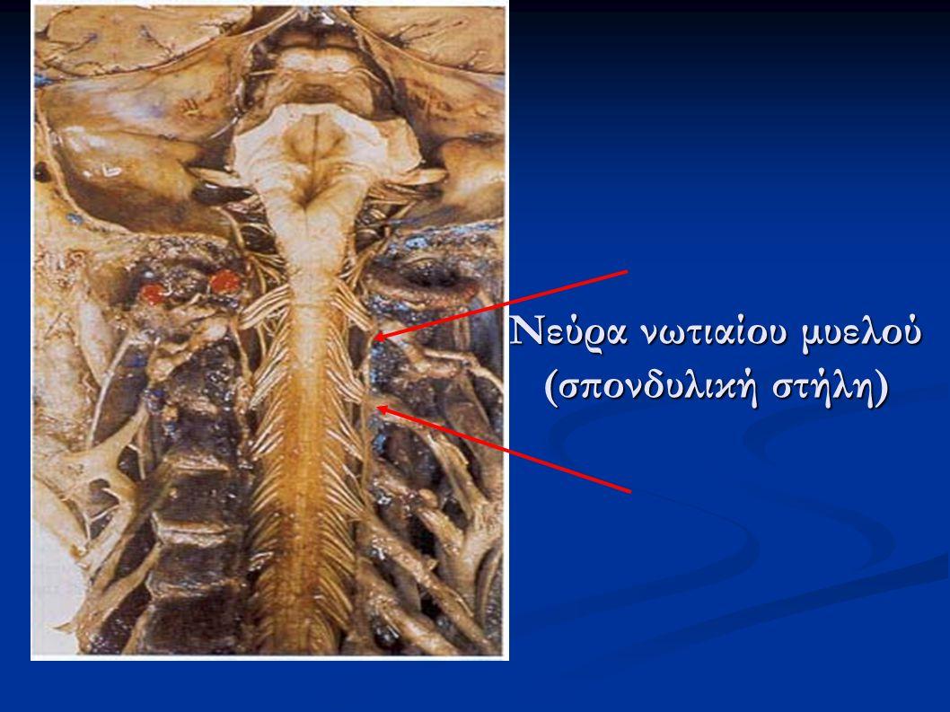 Νεύρα νωτιαίου μυελού (σπονδυλική στήλη)