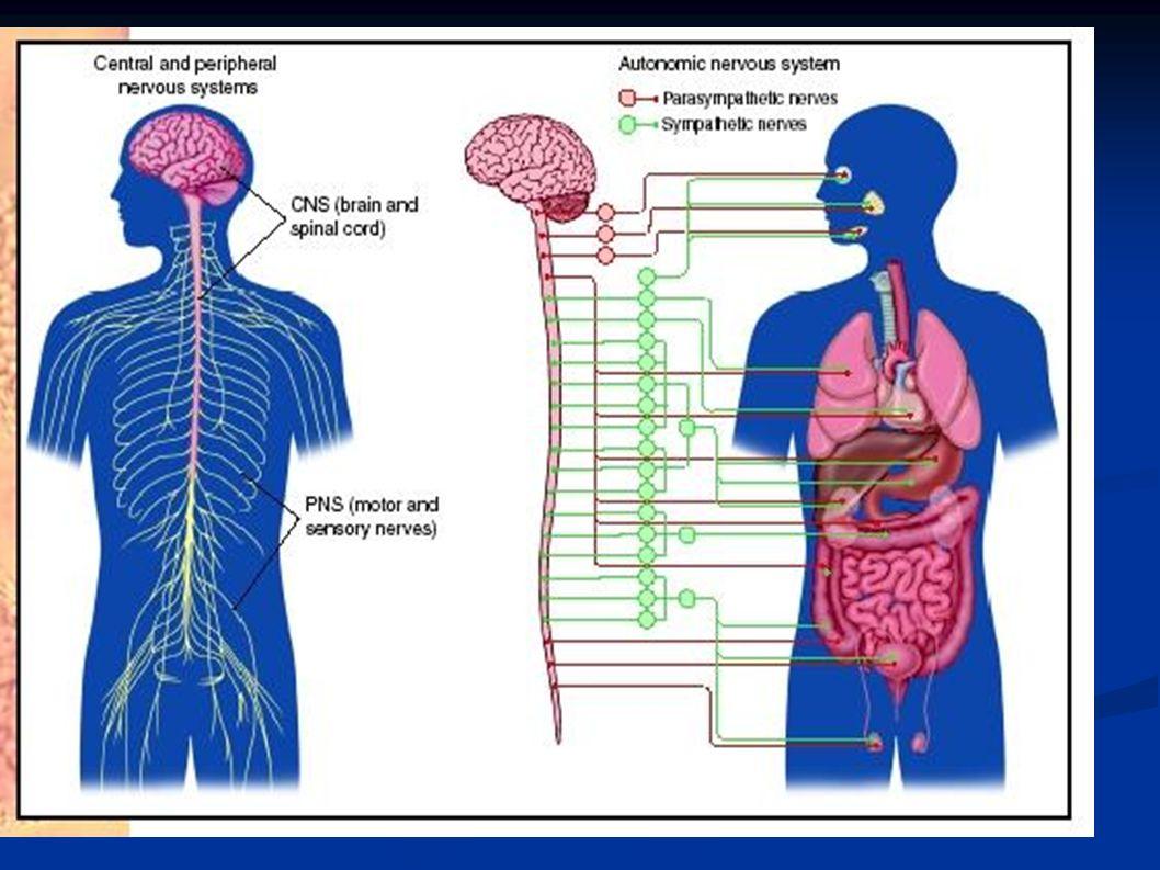 Φάρμακα του συμπαθητικού Υποδοχείς Α ή Β Όργανο στόχος Νοραδρεναλίνη Συμπαθητικομιμητικά: Προκαλούν στον άνθρωπο παρόμοιες ενέργειες με το συμπαθητικό.