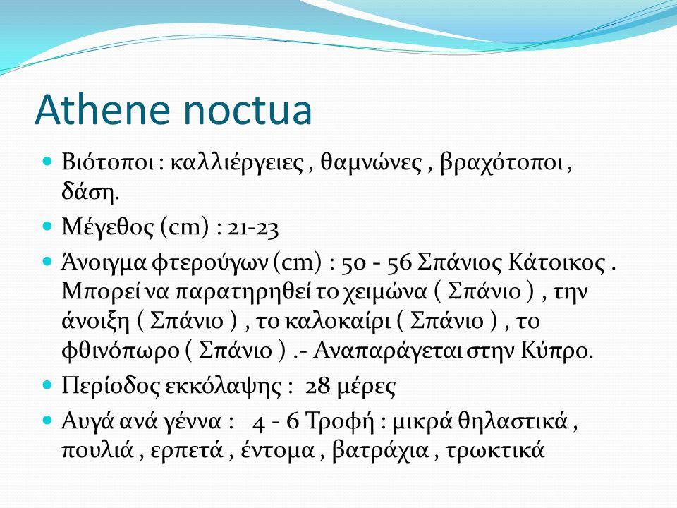 Athene noctua Βιότοποι : καλλιέργειες, θαμνώνες, βραχότοποι, δάση. Μέγεθος (cm) : 21-23 Άνοιγμα φτερούγων (cm) : 50 - 56 Σπάνιος Κάτοικος. Μπορεί να π