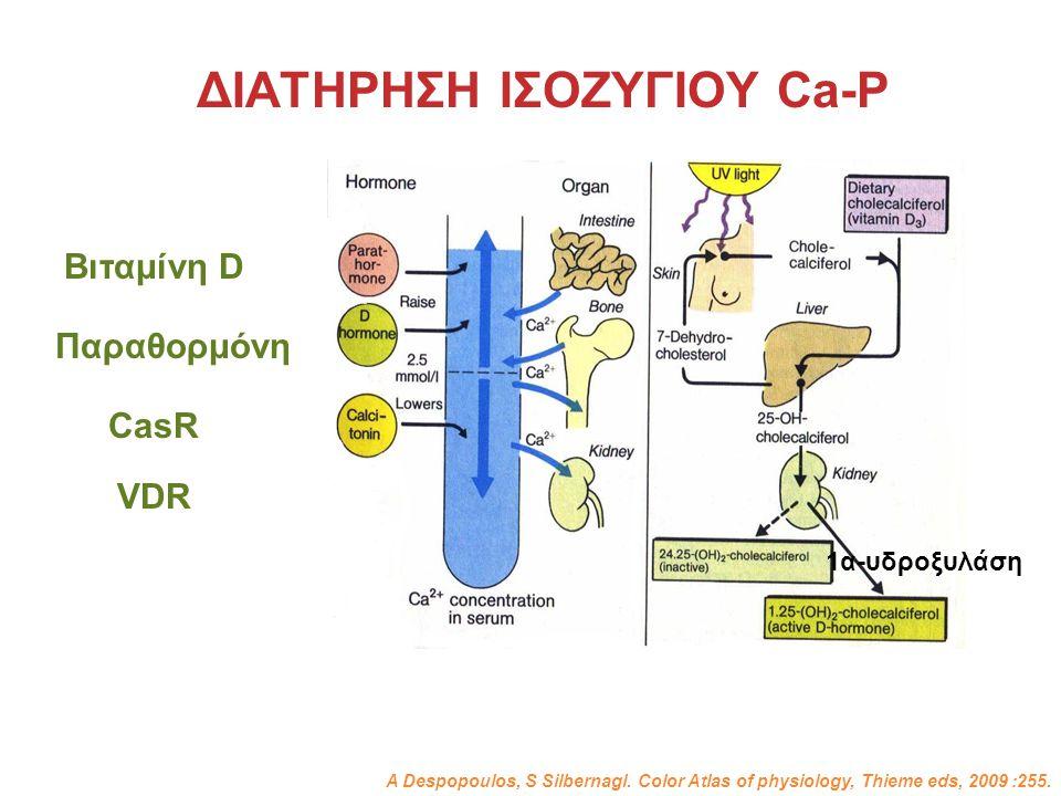 ΔΙΑΤΗΡΗΣΗ ΙΣΟΖΥΓΙΟΥ Ca-P Παραθορμόνη Βιταμίνη D CasR A Despopoulos, S Silbernagl. Color Atlas of physiology, Thieme eds, 2009 :255. VDR 1α-υδροξυλάση