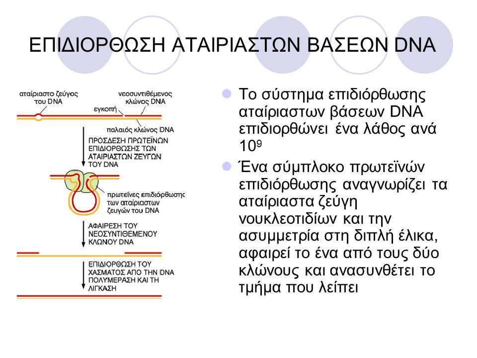 ΕΠΙΔΙΟΡΘΩΣΗ ΑΤΑΙΡΙΑΣΤΩΝ ΒΑΣΕΩΝ DNA Το σύστημα επιδιόρθωσης αταίριαστων βάσεων DNA επιδιορθώνει ένα λάθος ανά 10 9 Ένα σύμπλοκο πρωτεϊνών επιδιόρθωσης