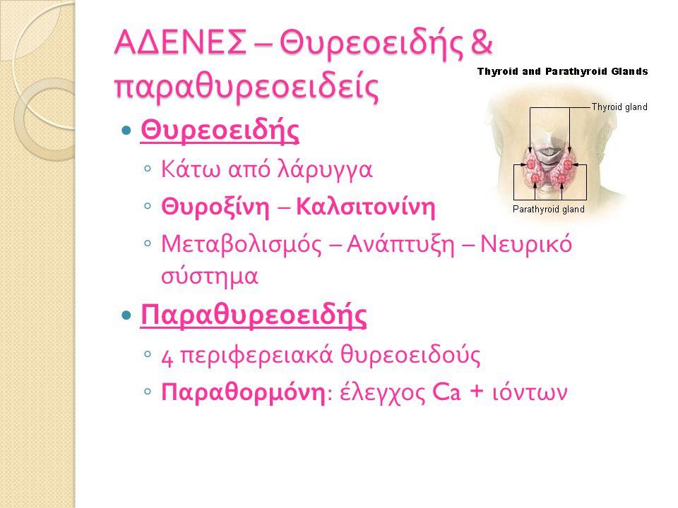 ΑΔΕΝΕΣ – Θυρεοειδής & παραθυρεοειδείς Θυρεοειδής ◦ Κάτω από λάρυγγα ◦ Θυροξίνη – Καλσιτονίνη ◦ Μεταβολισμός – Ανάπτυξη – Νευρικό σύστημα Παραθυρεοειδής ◦ 4 περιφερειακά θυρεοειδούς ◦ Παραθορμόνη : έλεγχος Ca + ιόντων